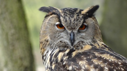 owl-44236_640