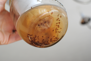 Fruit-Fly-Traps