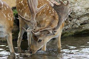 male-fallow-deer-stream-21998492