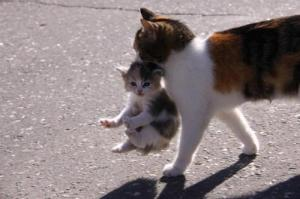 Momma-carrying-her-kitten