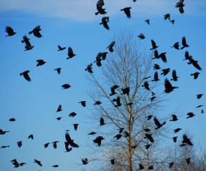 flock-of-crows