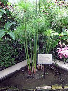 reeds220px-Kew.gardens.papyrus.plant.arp