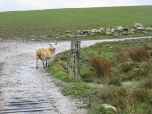 Lost_sheep_on_farm_track._-_geograph.org.uk_-_368111