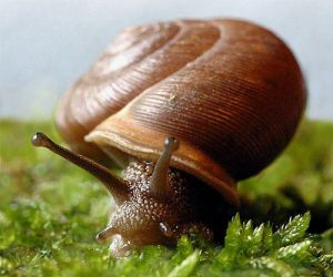 SnailMesodonClausus01