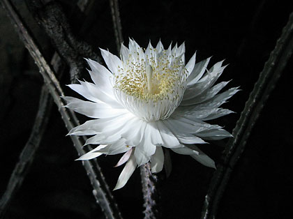 Night Blooming Cereus Devotions By Jan
