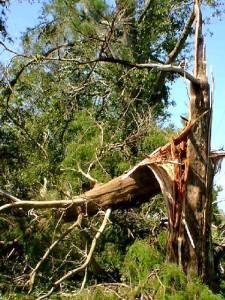large_split_cedar_tree