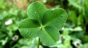 four-leaf-clover-100317-02