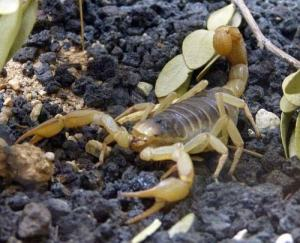 bark-scorpion