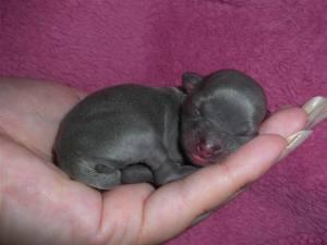 puppycosite-1dayoldchibaby-brygidat