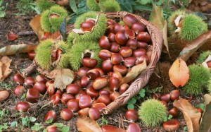 chestnuts-chestnuts-chestnuts-collect-autumn-harvest