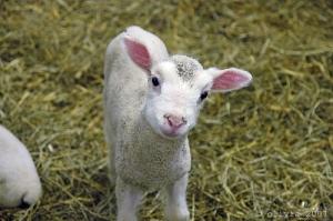 innocent-baby-lamb