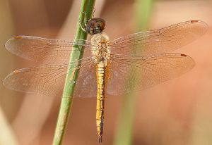dragonfly-species-may-be-the-longest-distance-flier-out-there